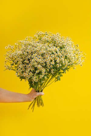 Daisy-like flowers in hand on yellow background. Copyspace with flower concept. Trendy colors 2021. Close up of Tiny Chamomile Flowers vertical