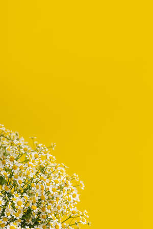 Daisy-like flowers on yellow background. Chamomile Tea Benefits Your Health concept. Close up of Tiny Chamomile Flowers. Trendy colors 2021 side view copyspace