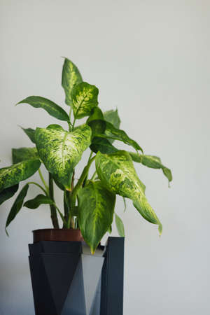 Ficus plant rubber tree on a light background, gray wall at home interior. Close up vertical shot side view Stockfoto