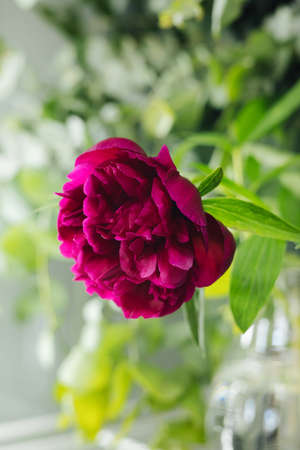 Red peony flower in flower shop on a background of green leaves vertical Stockfoto
