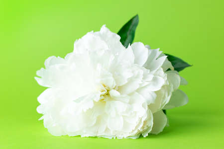 Blossoming white peony flower copy space. spring cosept on green background side view Stockfoto