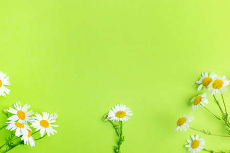 Flat lay of Daisy flowers on light green background with copy space , summer and spring concept