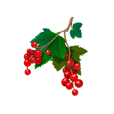 currants: Realistic red currants on a white background. Vector illustration Illustration
