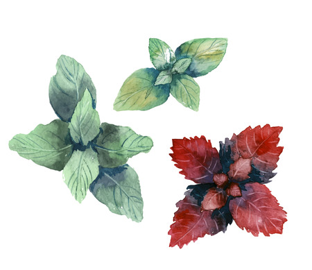 Water color herbs. Mint and basil. Vector illustration 矢量图像