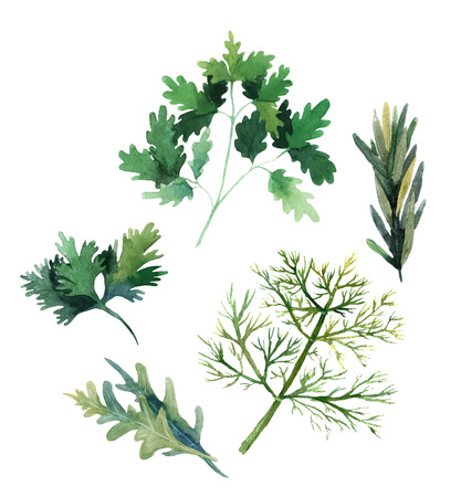 water color: Water color herbs. Fennel, parsley, rosemary and arugula. Vector illustration Illustration