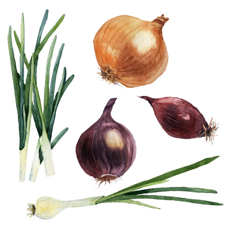 cebolla blanca: Conjunto de la acuarela de verduras. Cebollas. Ilustración vectorial Vectores