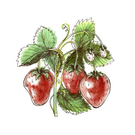 Disegno ad acquerello di fragola. Fragola su uno sfondo bianco. Illustrazione vettoriale Archivio Fotografico - 42285257