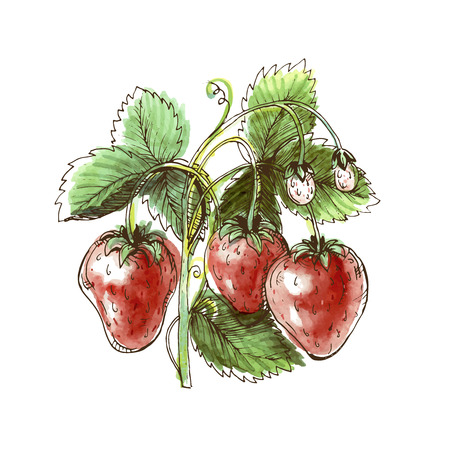 Watercolor drawing of strawberry. Strawberry on a white background. Vector illustration