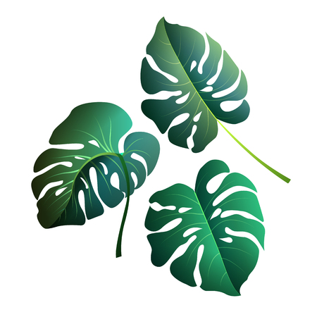 Monstera leaves. Botanical exotic, tropical plants on a white ba