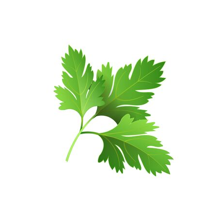 Realistic fresh parsley leaf herb. Isolated flat vector element for advertising placard or banner. Vector illustration on white isolated background