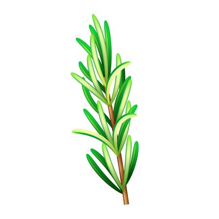 Realistic fresh rosemary herb. Isolated vector element for advertising placard or banner. Vector illustration on white isolated background Иллюстрация