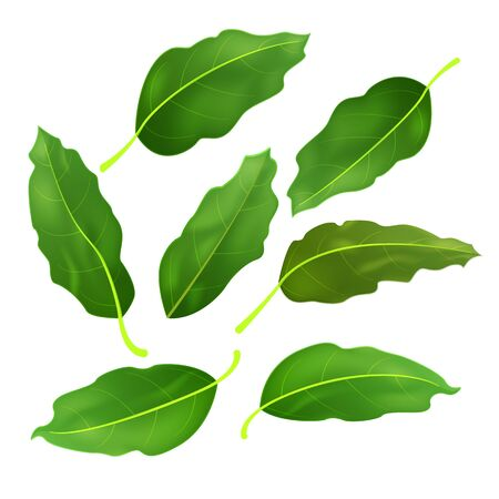 Realistic fresh bay leaf herb. Isolated flat vector element for advertising placard or banner. Vector illustration on white isolated background Иллюстрация