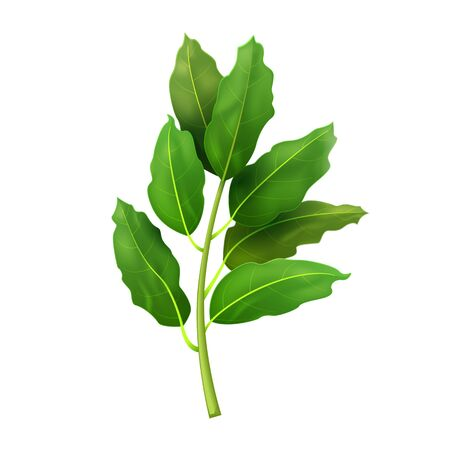 Realistic fresh bay leaf herb. Isolated flat vector element for advertising placard or banner. Vector illustration on white isolated background