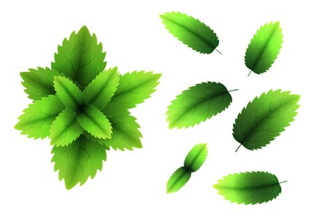 Fresh mint leaf. 3D realistic vector set mint leaves. Healthy aroma. Spearmint green leafs. Isolated on white background. Vector Ilustração