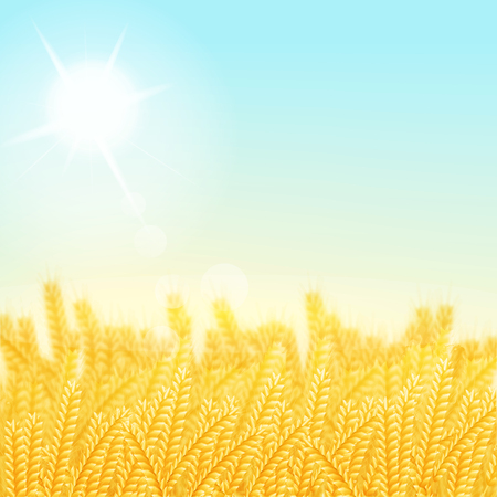 wheat field: vector illustration. Wheat field on a Sunny morning. Background Illustration