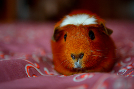 herbivorous animals: Guinea pig. It is the Guinea pig by the name of Arson.