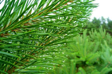 Pine needles in raindrops