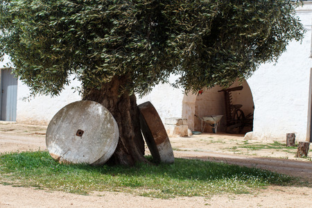Ancient olive tree with two millstones, Puglia, Italy Archivio Fotografico