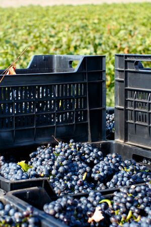 Grapes in plastic crates during grape harvest in South Italy, Puglia