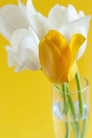 White and yellow Tulips on a yellow background close up Reklamní fotografie