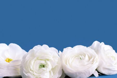 Cream ranunculus flowers on a blue background cloes up