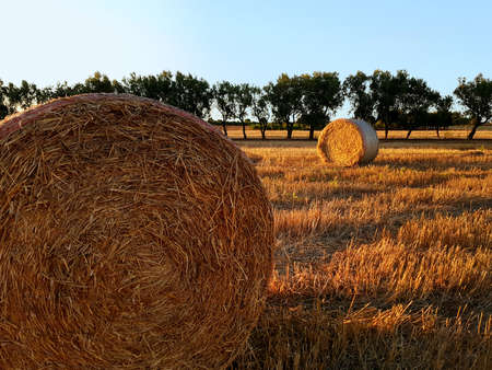 Field with hay bales after harvest on sunset Banque d'images