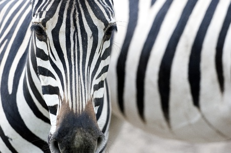 emphasized:   Artistic closeup Portrait of a zebra - emphasized graphical pattern  Stock Photo