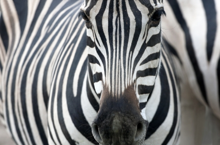 Artistic closeup portrait of a zebra - emphasized graphical pattern. Standard-Bild