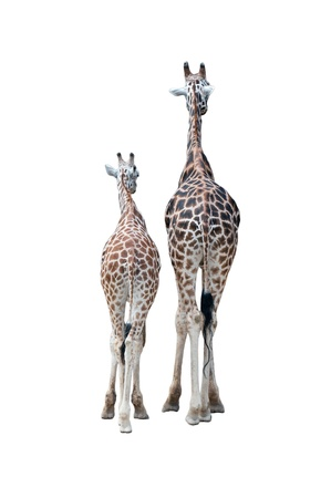 Pair of giraffes. Rear view. Isolated on a white background photo