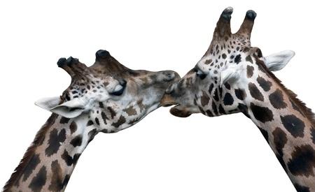 africa kiss: giraffes