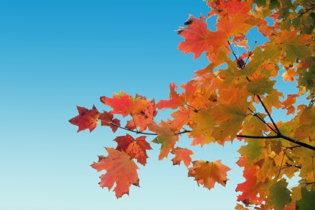 red yellow fall maple leafs over the blue sky  photo
