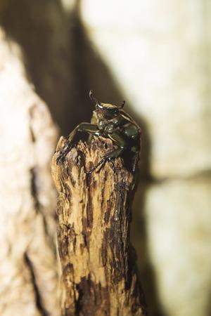 lucanus: Bug. Lucanus cervus