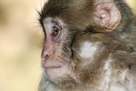 macaque: Monkey macaque