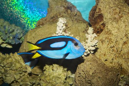 corales marinos: Azules de la espiga o real Tang o cirujano paleta o paracanthurus Hepatus, peces marinos de coral.