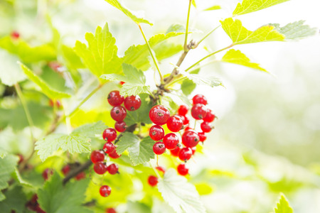 Branches of berries of red currant in the summer in a garden. Harvest background Stock Photo