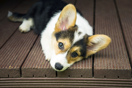Puppy of the corgi has a rest on a wooden floor