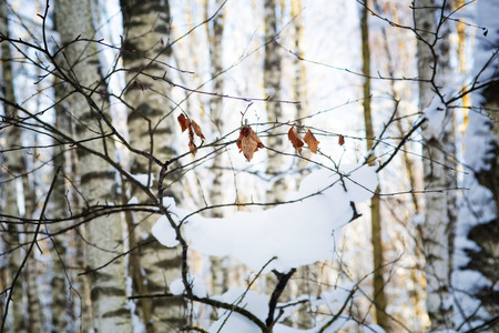 winter wood: Branch with leaves in snow in the winter wood Stock Photo
