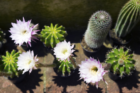 variable: Blossoming Echinopsis cactus and its white flowers.Horizontal image.Selective focus.  Stock Photo