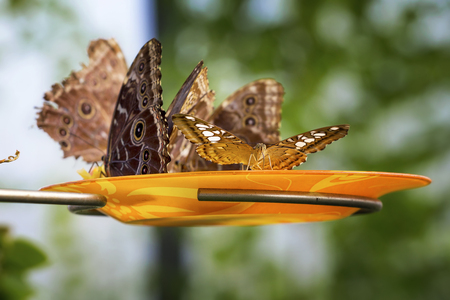 Close up photo of big butterflys eat oranges on a plate