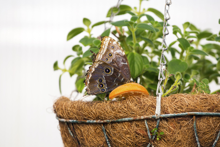 Close up photo of big butterfly eats oranges