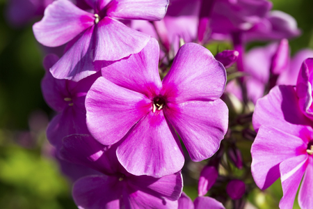 Blooming Phlox paniculata on natural green background Stock Photo