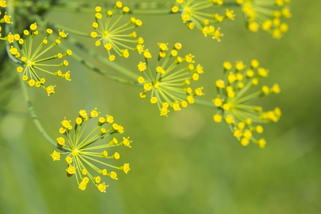 Humble yellow umbrella flowers of fennel, natural gardening