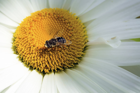 Bee sitting on camomile. Macro photo. White flower. Life of insects 版權商用圖片 - 82607373