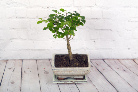 Bonsai tree on a white wooden background Stok Fotoğraf