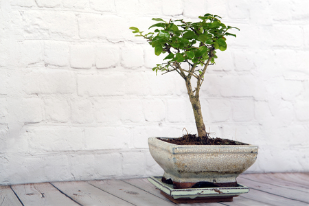 Bonsai tree on a white wooden background Banco de Imagens - 125582551