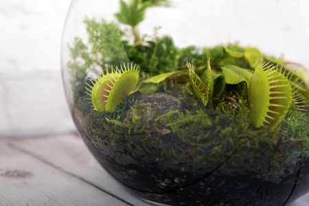 Carnivorous Venus Fly Traps (Dionaea muscipula) and Sundews (Drosera capensis) in terrarium. Plants secrete digestive enzymes s until the insect is liquified and its soluble contents digested