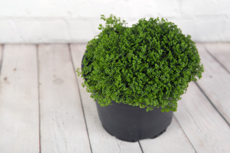 Moss fern, selaginella martensii in a flower pot on a light-wooden background Stok Fotoğraf
