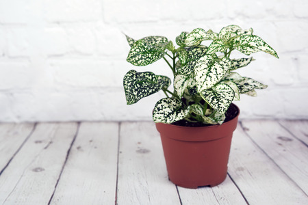 Hypoestes plant in front of white wooden  background