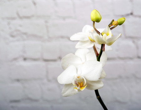 White Orchid flower on white wooden background, close-up Stok Fotoğraf