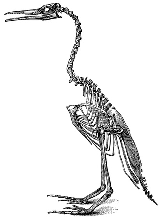Skeleton of fossilized bird. Vector image based on 19th century engraving. Copyright expired.